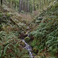 A small tributary to Cape Creek.- Giant Spruce Trail