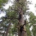 There are a handful of other very large spruce trees along the trail.- Giant Spruce Trail