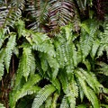 Sword fern (Polystichum munitum) looming over licorice fern (Polypodium glycyrrhiza).- Giant Spruce Trail