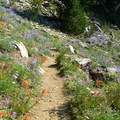 Indian paintbrush (Castilleja) and lupine (Lupinus) border the Round The Mountain Trail.- Round the Mountain Trail
