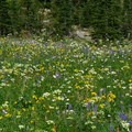 One of the many lush wildflower meadows around Mount Adams.- Round the Mountain Trail