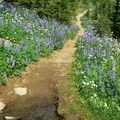 The Round The Mountain trail is boardered by wildflowers.- Round the Mountain Trail