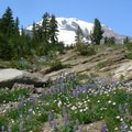 Mount Adams (12,281') behind some lupine (Lupinus) and aster (Aster) wildflowers.- Round the Mountain Trail