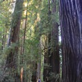 The River Trail portion of Stout Grove. Jedediah Smith Redwoods State Park.- Stout Memorial Grove