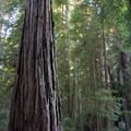 Stout Memorial Grove. Jedidiah Smith Redwoods State Park.- Stout Memorial Grove