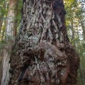 Big burls in Stout Memorial Grove.- Stout Memorial Grove