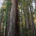 Stout Tree in Stout Memorial Grove.- Stout Memorial Grove