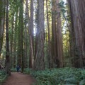 Stout Grove Loop Trail circles the grove's tallest trees.- Stout Memorial Grove