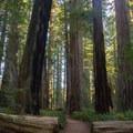 Stout Memorial Grove. Jedediah Smith Redwoods State Park. - Stout Memorial Grove