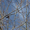 Red-winged blackbirds flourish in the bushy areas at Delta Ponds.- Delta Ponds