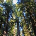 Coast redwoods (Sequoia sempervirens) tower above on the Ellsworth Loop Trail.- Leiffer + Ellsworth Loop Trails