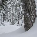 Passing a large cedar.- Kelcema Lake