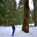 Old-growth forest in Lake Easton State Park.- Lake Easton State Park Cross-Country Skiing