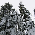 Looming Douglas firs on the Frog Lake Snowshoe- Frog Lake