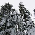 Looming Douglas firs on the Frog Lake Snowshoe- Frog Lake