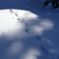 Tracks in the road (help us identify them by providing feedback).- Wenatchee Ridge Trail