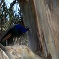 Before you leave, check out the peacocks (Pavo).- Blue Rock Springs Park