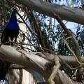 Peacocks (Pavo) on a eucalyptus.- Blue Rock Springs Park