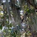 Spanish moss (Tillandsia usneoides) in Deer Island Open Space Preserve.- Deer Island Open Space Preserve