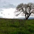 Buckeye tree (Aesculus californica).- Deer Island Open Space Preserve