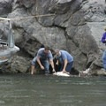 There are some big sturgeon in the Snake River.- Snake River