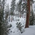 Ponderosa pines (Pinus ponderosa) on the way Eightmile Lake Trail.- Eightmile Lake