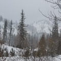 The deciduous Western larch (Larix occidentalis) is dominant through the Alpine Lakes Wilderness forest.- Eightmile Lake
