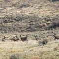 Mule deer (Odocoileus hemionus) adjacent to Summer Lake Hot Springs.- Summer Lake Hot Springs
