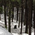 A dense forest surrounds the route to Talupus Lake.- Talapus Lake Snowshoe