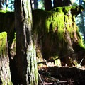 The trail entry has some great moss-covered stumps.- Purisima Creek Trail