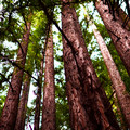 Towering redwoods.- Purisima Creek Trail