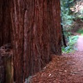 Large redwood tree at the trail's edge.- Purisima Creek Trail