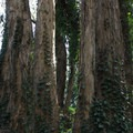 Stern Grove.- Stern Grove + Pine Lake Park