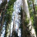 Eucalyptus at Stern Grove.- Stern Grove + Pine Lake Park