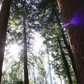Stern Grove redwoods.- Stern Grove + Pine Lake Park