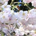 Cherry blossoms in Stern Grove.- Stern Grove + Pine Lake Park