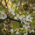 Apple blossom.- Stern Grove + Pine Lake Park