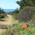 California poppies (Eschscholzia californica) on the Mori Ridge Trail.- Mori Ridge Trail