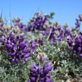 Lupine (Lupinus) is critical for mission blue butterflies to lay their eggs.- Notch Trail