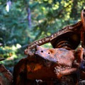 More auto wreckage along the Purisima Trail.- Purisima Creek Trail