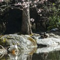 Great blue heron at the upper duck pond in Lithia Park.- Lithia Park