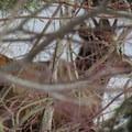Spotting an elk through the brush.- Cooper River Trail