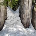 Old cedars (Thuja plicata).- Cooper River Trail