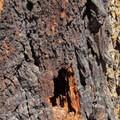 Wood-pecked fir bark.- Cooper River Trail