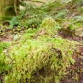 Moss-filled forest.- Shellburg Falls Loop Hike