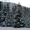 Plenty of snow and big trees on the way to Twin Lakes.- Twin Lakes