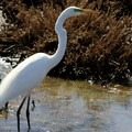 Great Egret (Ardea alba).- Napa River Bay Trail + Glass Beach