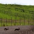 Normally solitary, spring brings out a different behavior for the hare (Lepus).- Napa River Bay Trail + Glass Beach