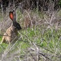 Hare (Lepus).- Napa River Bay Trail + Glass Beach