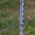House finch (Carpodacus mexicanus).- Napa River Bay Trail + Glass Beach